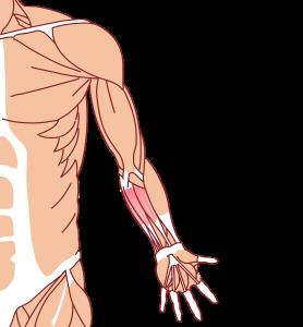 前腕屈筋群