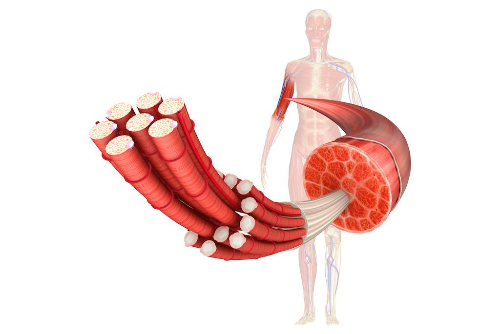 筋肉の分解図